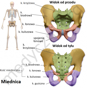 miednica